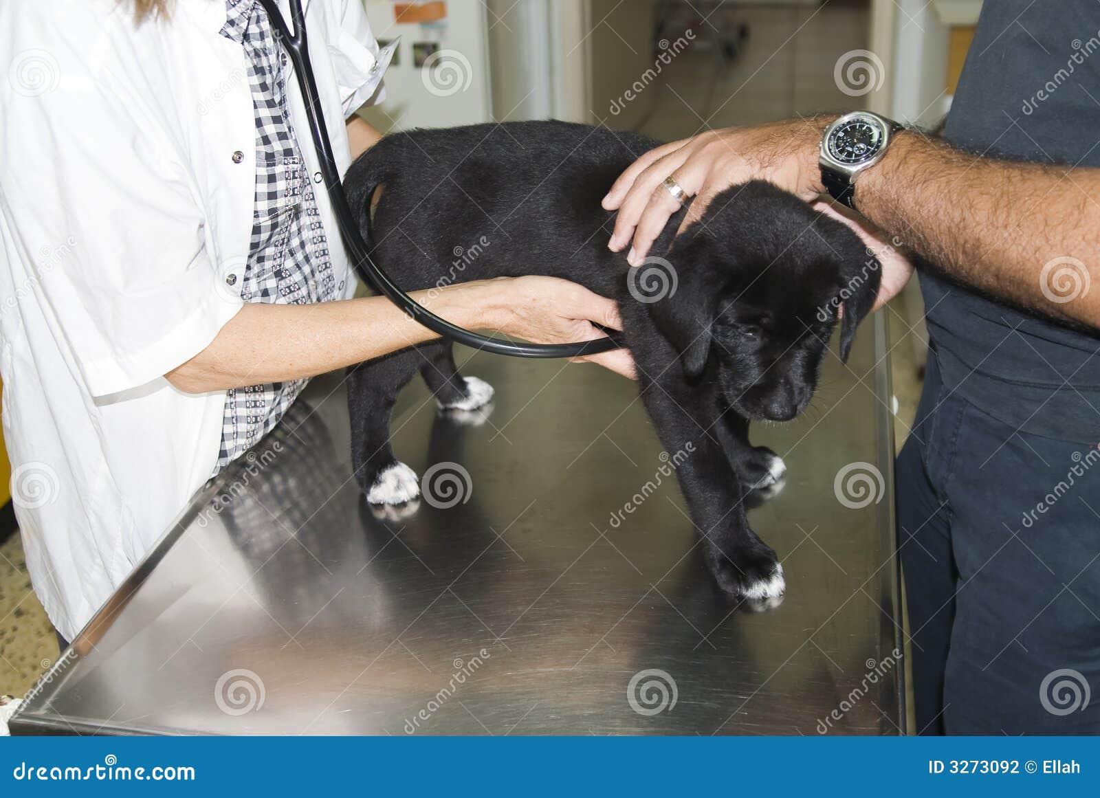 Labrador, das überprüft erhält
