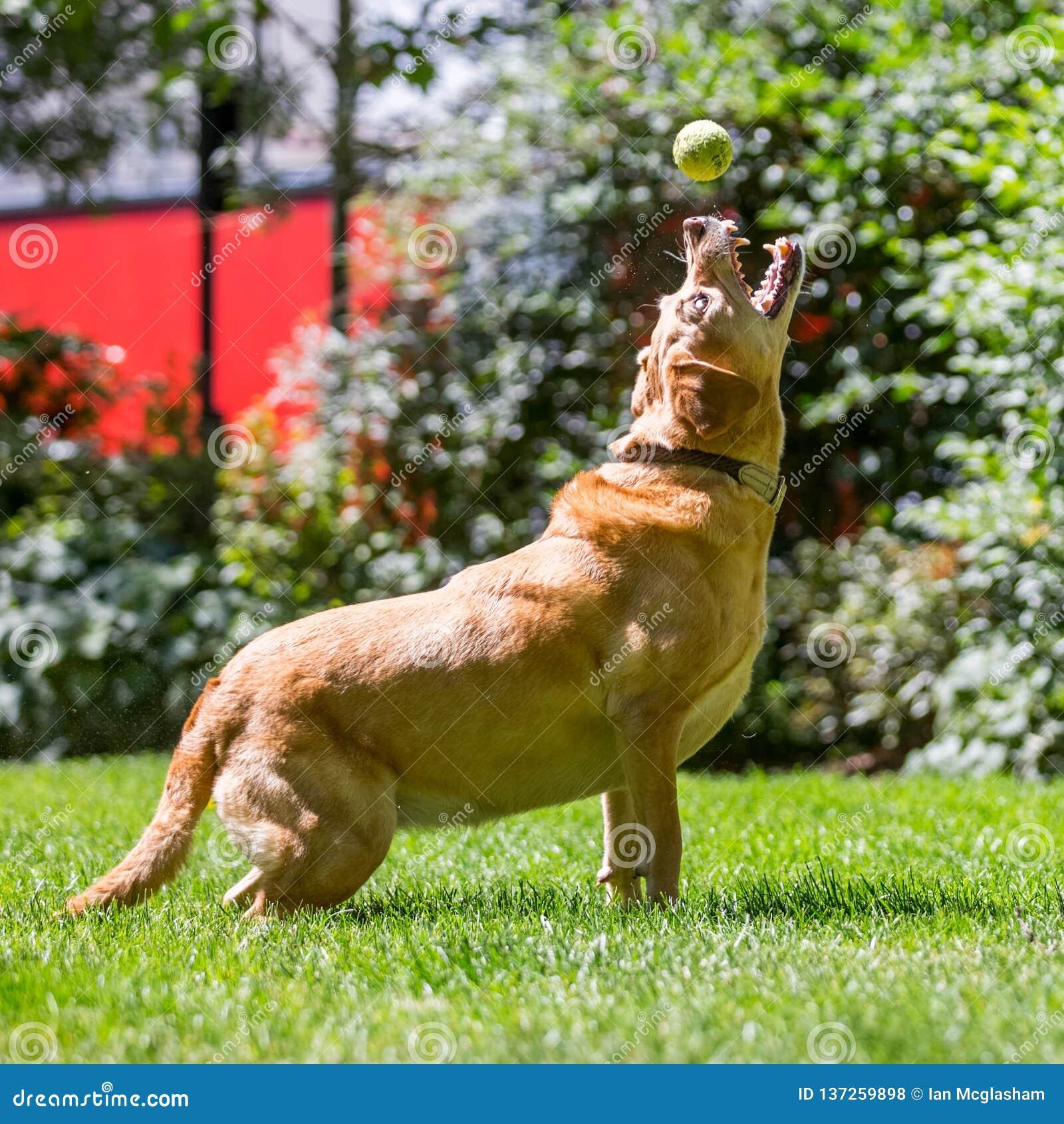 Labrador die een balstok vangen of behandelt op een zonnige dag