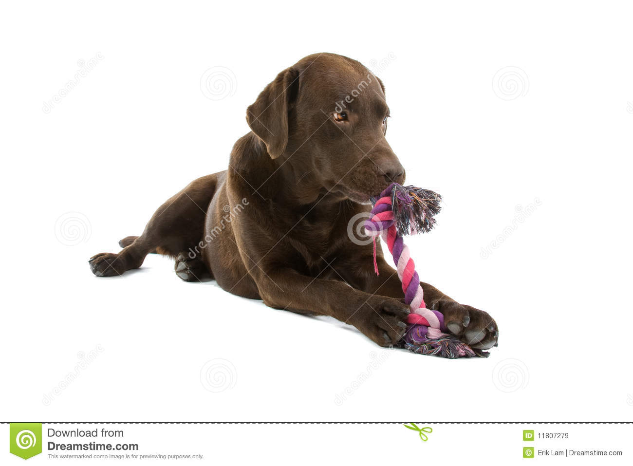 labrador dog chewing toy stock image image of playing 11807279. Black Bedroom Furniture Sets. Home Design Ideas