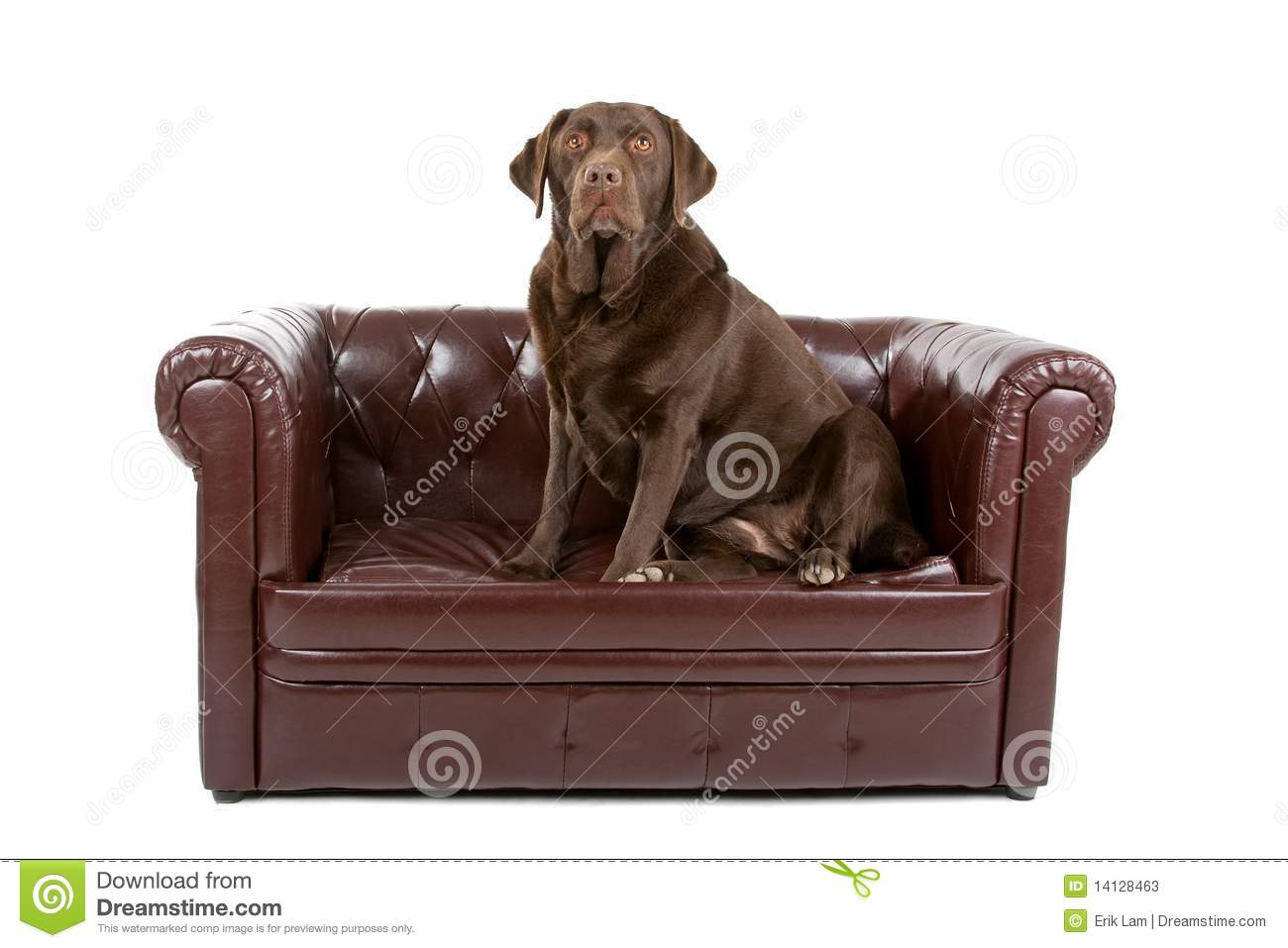 Labrador Dog On Leather Couch Stock Image Image Of