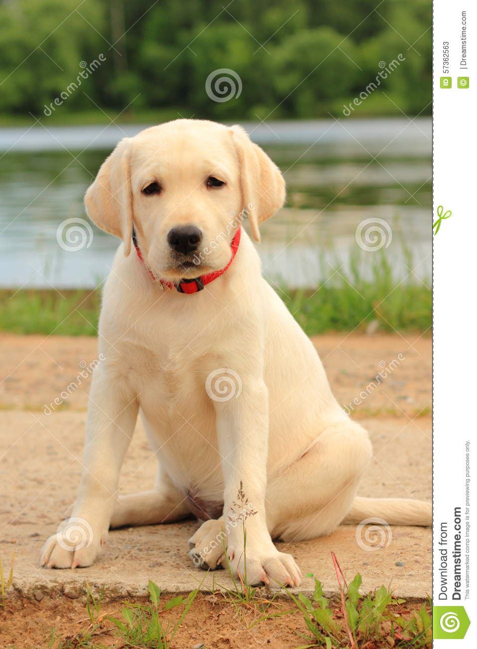 Labrador, Dog, Puppy, Pet, Cute, Pale Stock Image - Image of walk ... for Cute Lab Dog Puppy  568zmd