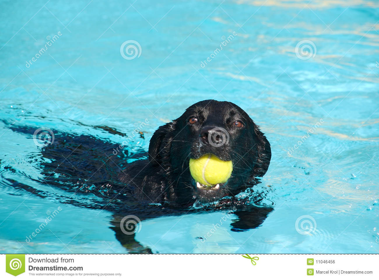 labrador dog in water with ball royalty free stock image   image