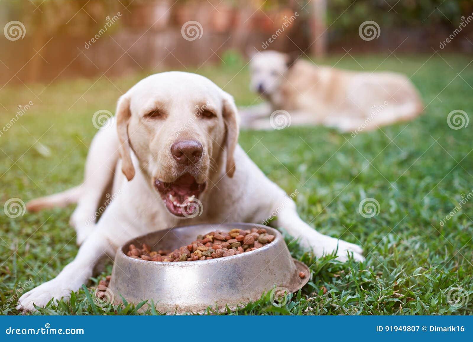 Fußboden Graß Essen ~ Labrador essen von der metallschüssel stockbild bild von nahrung