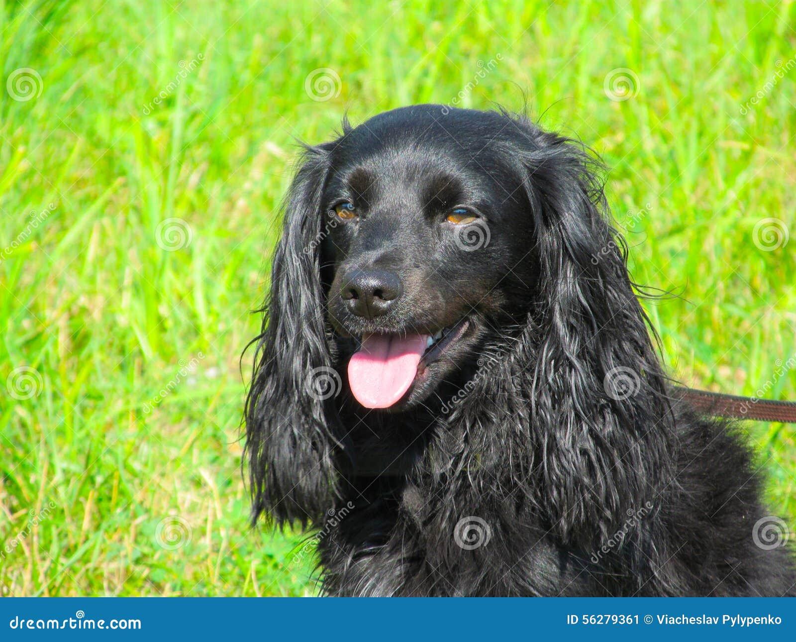 Labrador för bakgrundshundjakt vit yellow