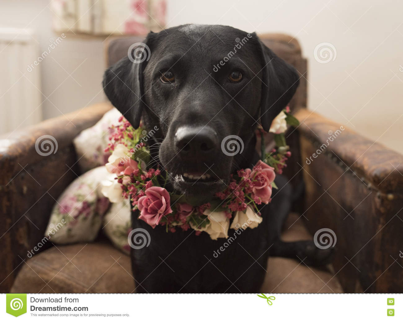 Labrador In Flower Crown Collar Stock Photo Image Of Black Floral