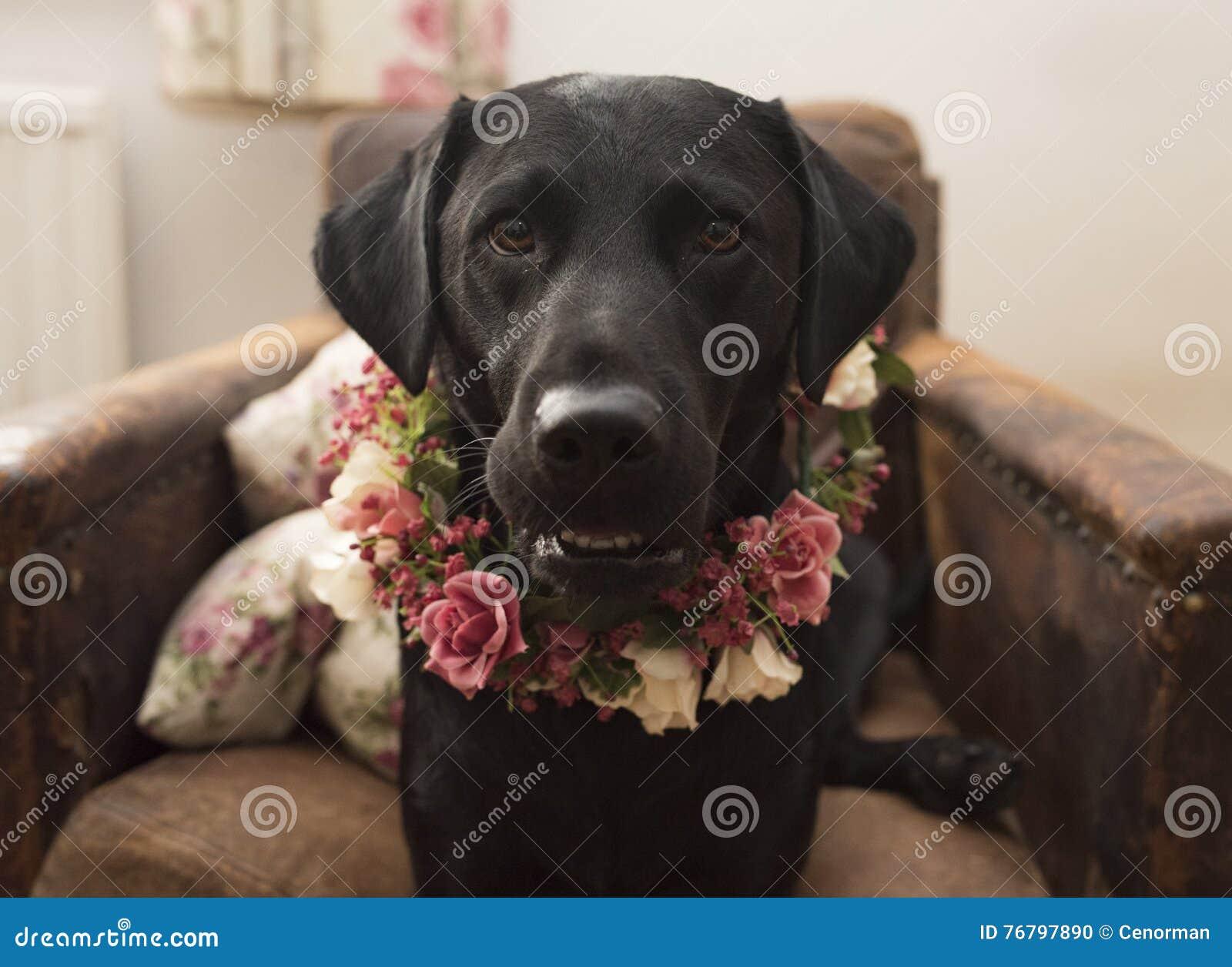 Labrador in flower crown collar stock photo image of black floral labrador in flower crown collar izmirmasajfo