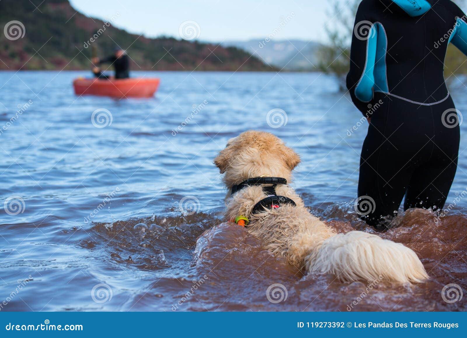 Labrador Golden Retriever Dog Pure Breed Female Puppy Stock Photo