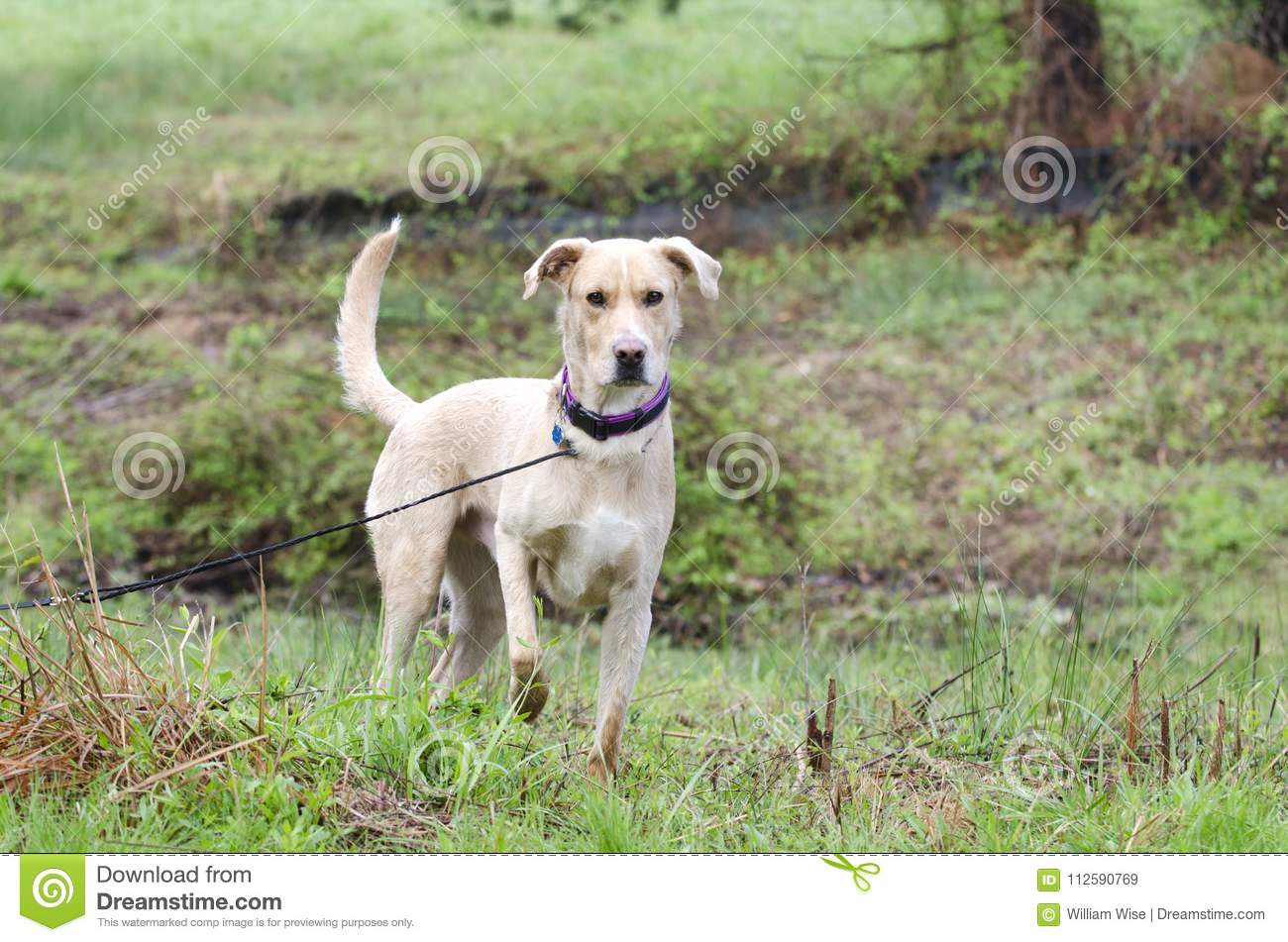 Labrador Golden Retriever Mixed Breed Dog With Rabies Id Tag Stock