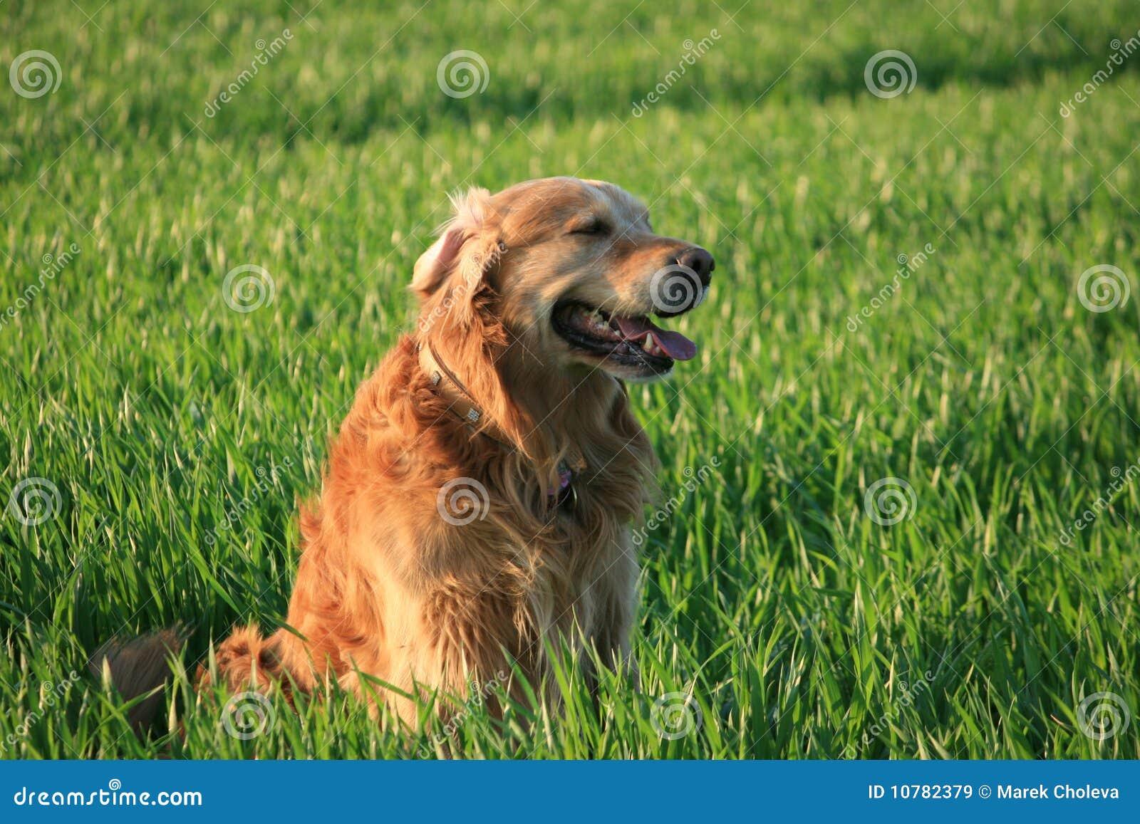 Labrador in gras