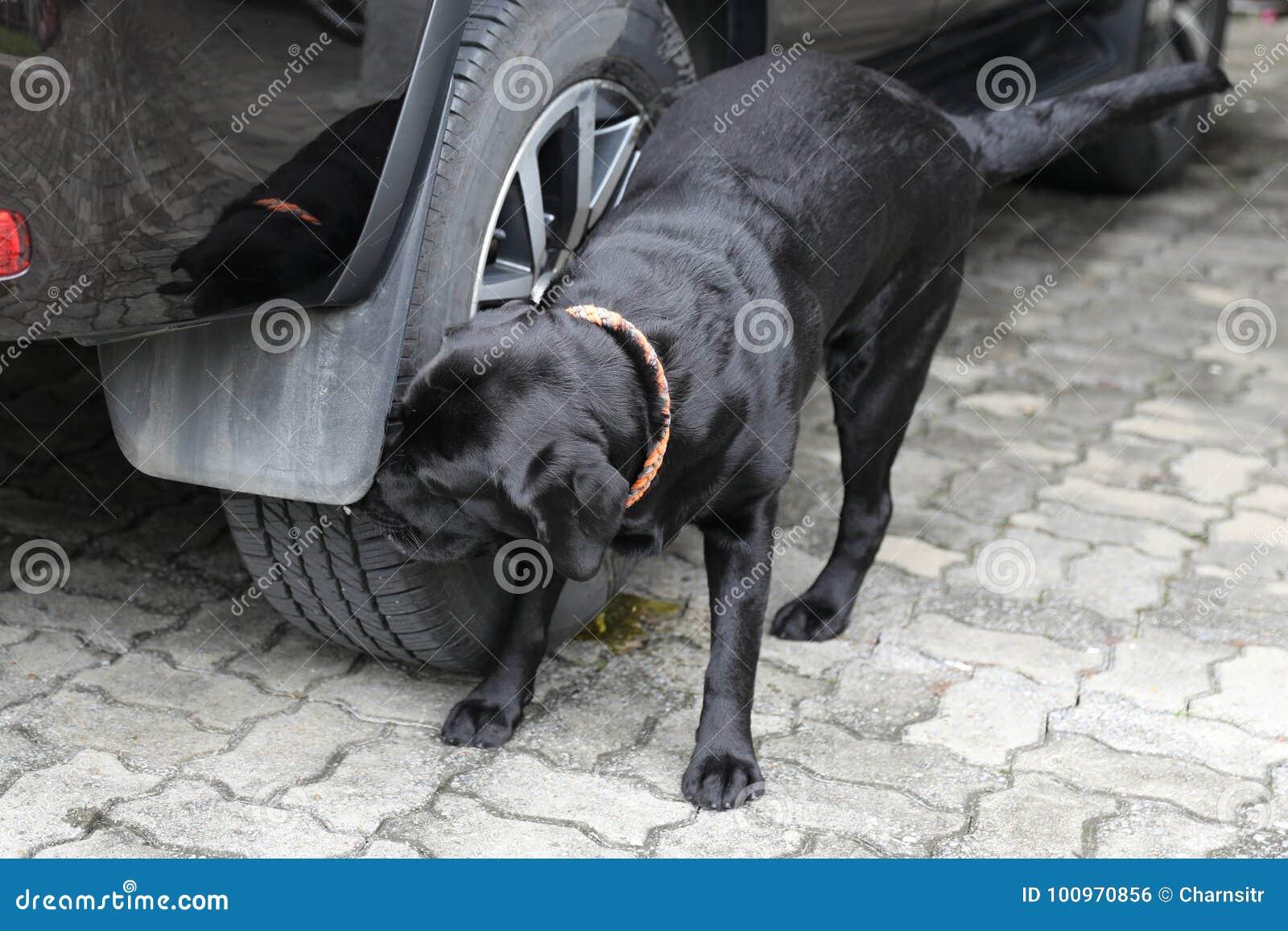 Fußboden Aus Autoreifen ~ Labrador hund der auf einem autoreifen uriniert stockfoto bild