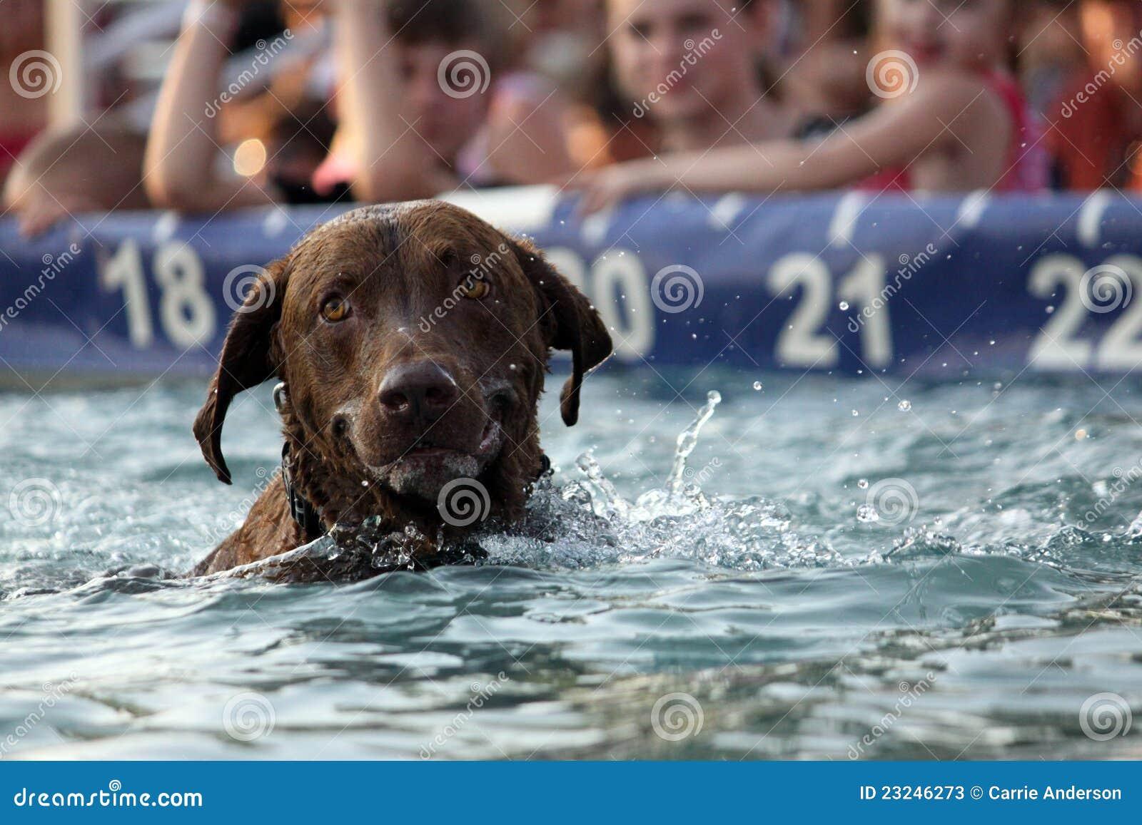 Labrador-Hundeschwimmen