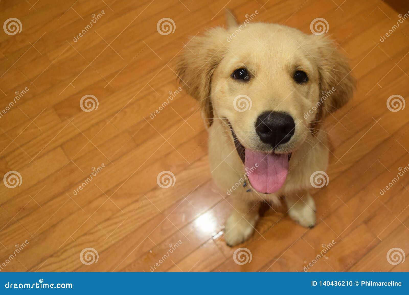 Labrador jaune le plus mignon dans le monde