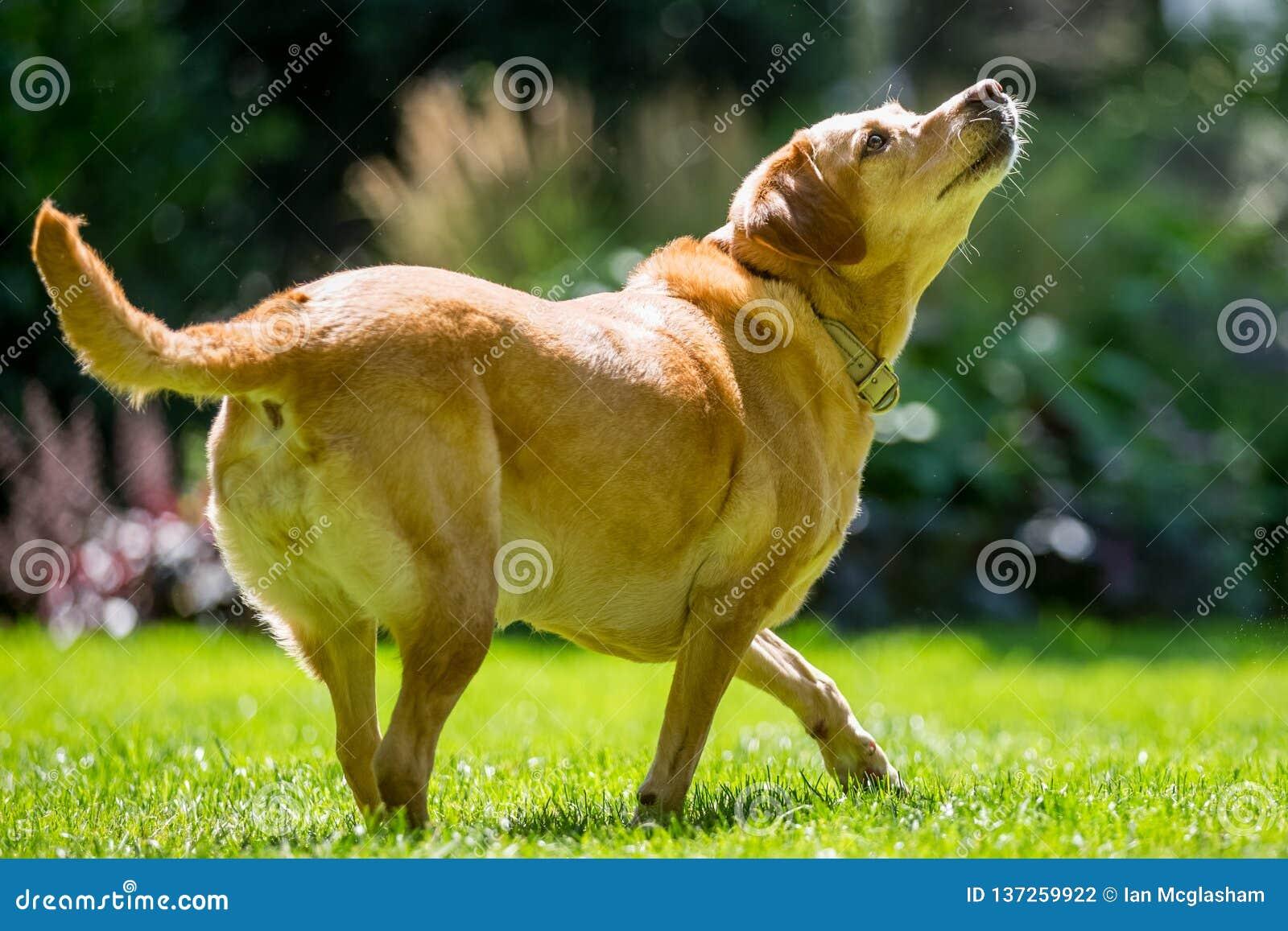 Labrador marchant au côté au-dessus de l herbe recherchant sur une tête de jour ensoleillé vers le bas