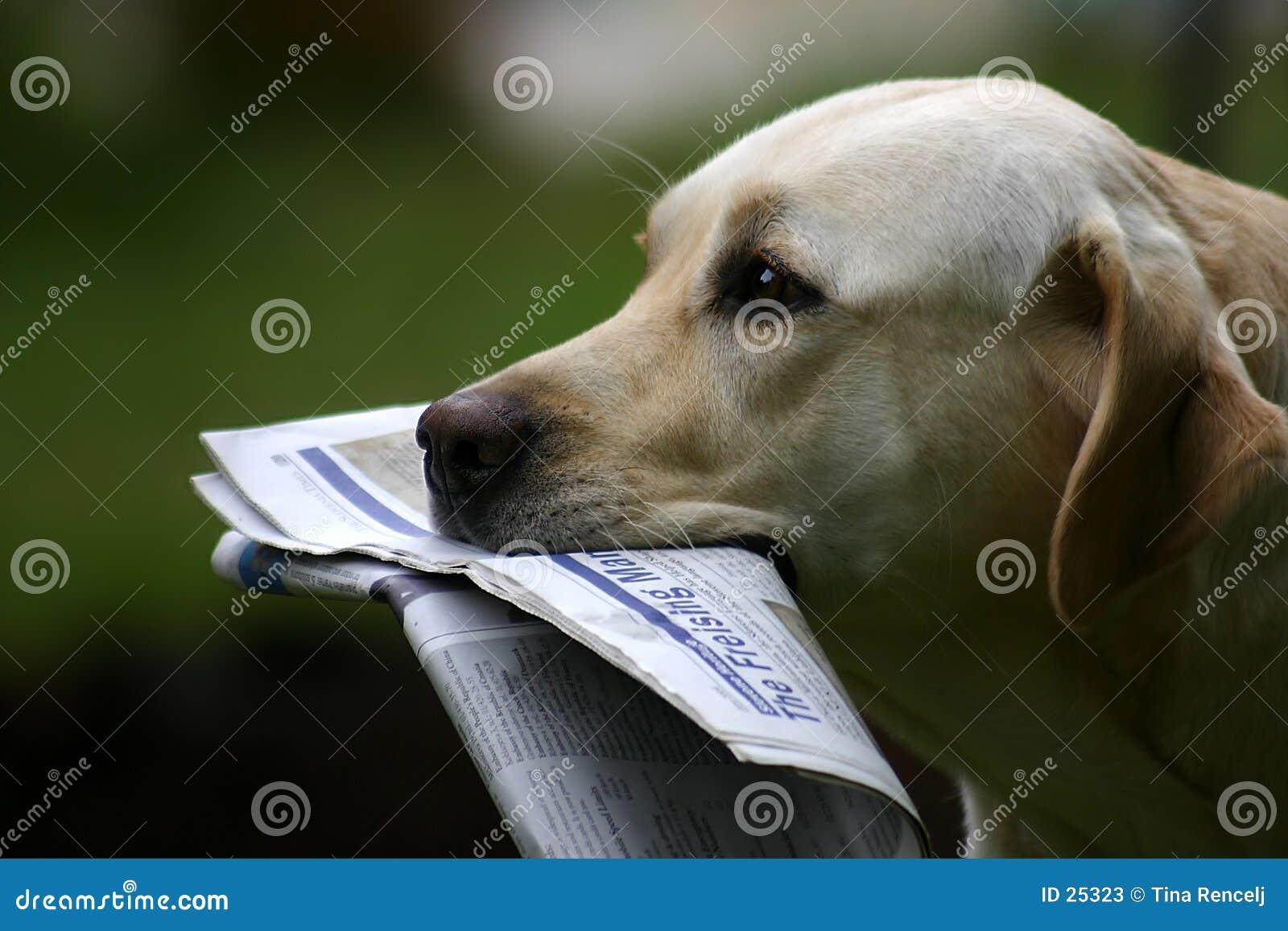 Labrador mit Nachrichten