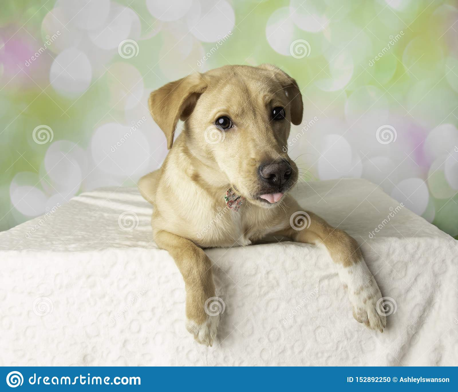 Labrador Mix Dog Portrait With Colorful Background Lying Down