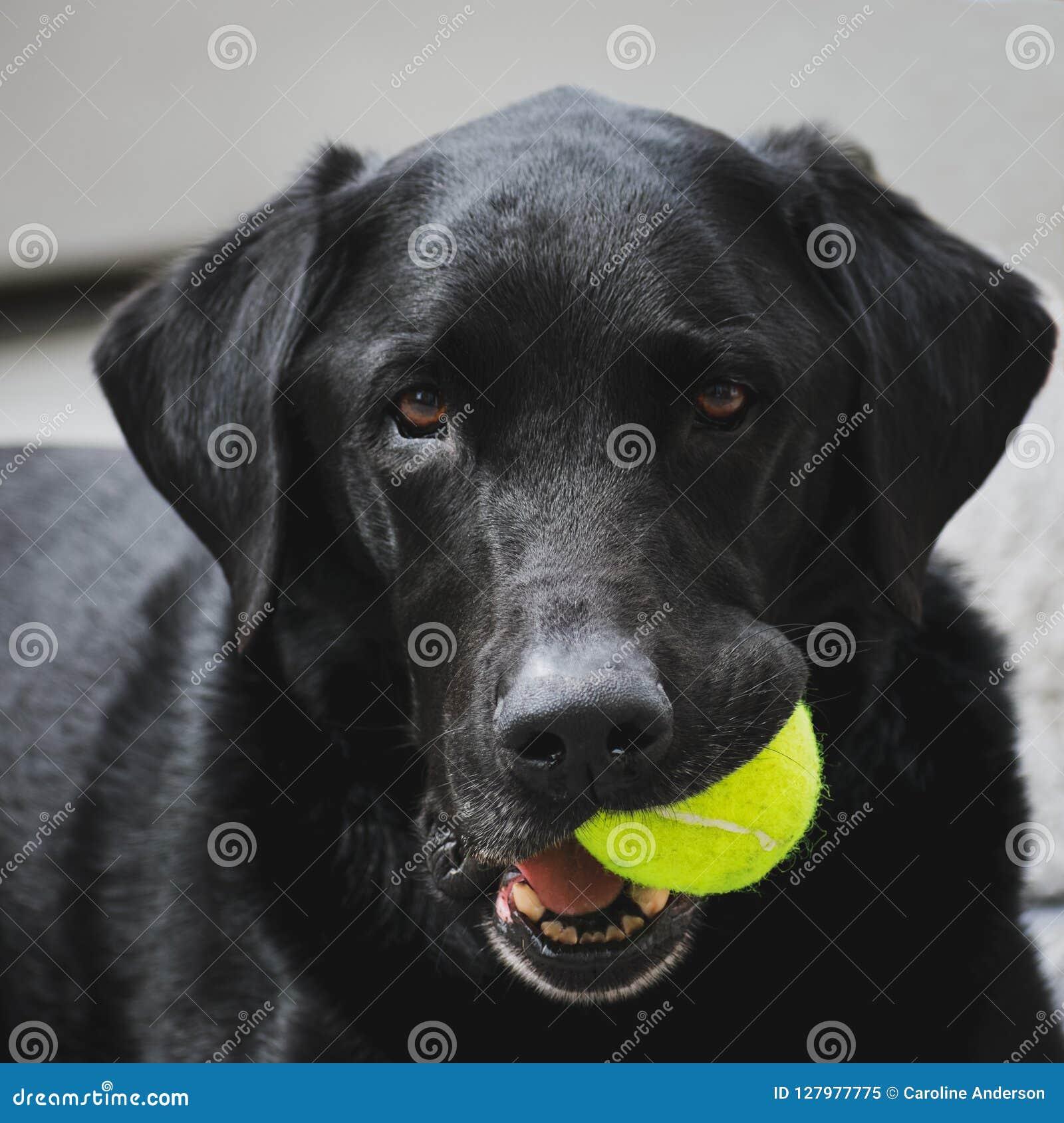 Labrador noir tenant la balle de tennis