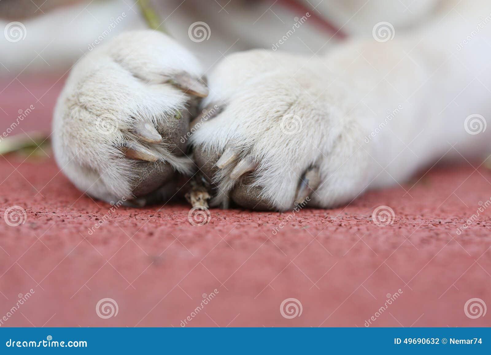 Labrador pequeno Sara Paws em um fundo vermelho