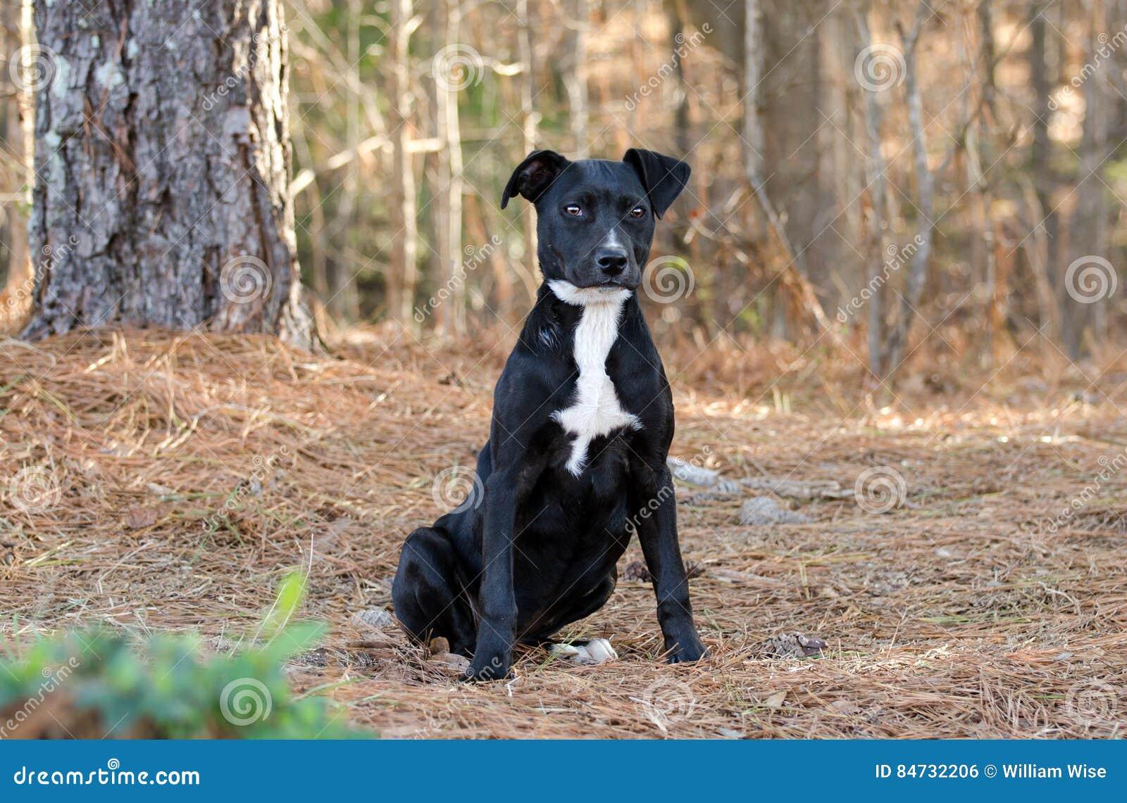 Labrador Pitbull Mixed Breed Puppy Stock Photo Image Of Shelter