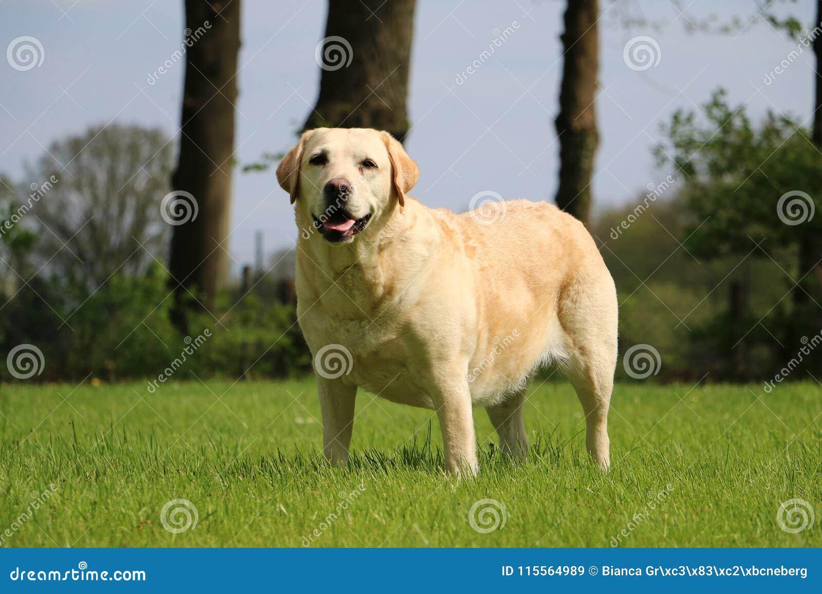 Labrador-Porträt im Garten
