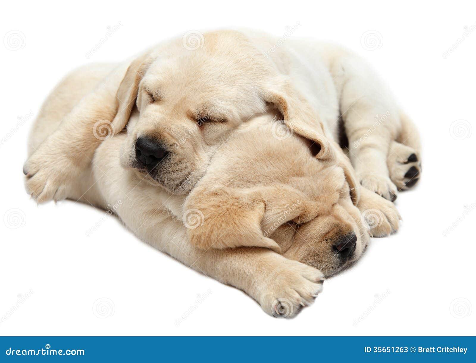 Labrador Puppies Sleeping Stock s Image