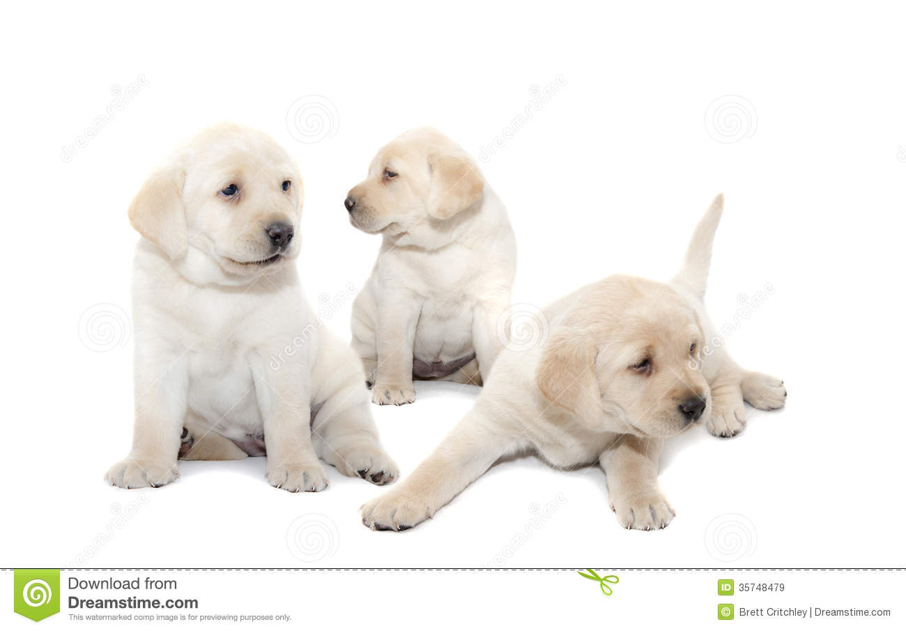 Labrador puppies stock image. Image of pets, white, puppies - 35748479