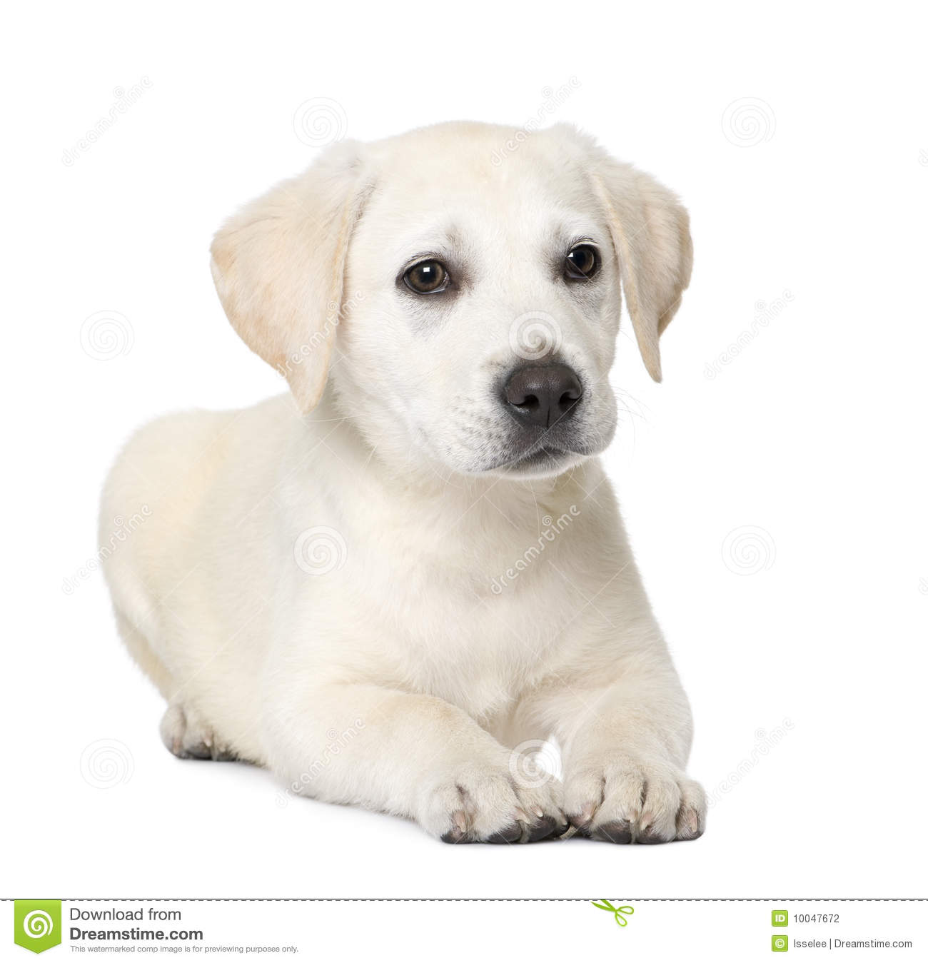 Labrador Puppy 4 Month Old Photos Free Royalty Free Stock Photos From Dreamstime