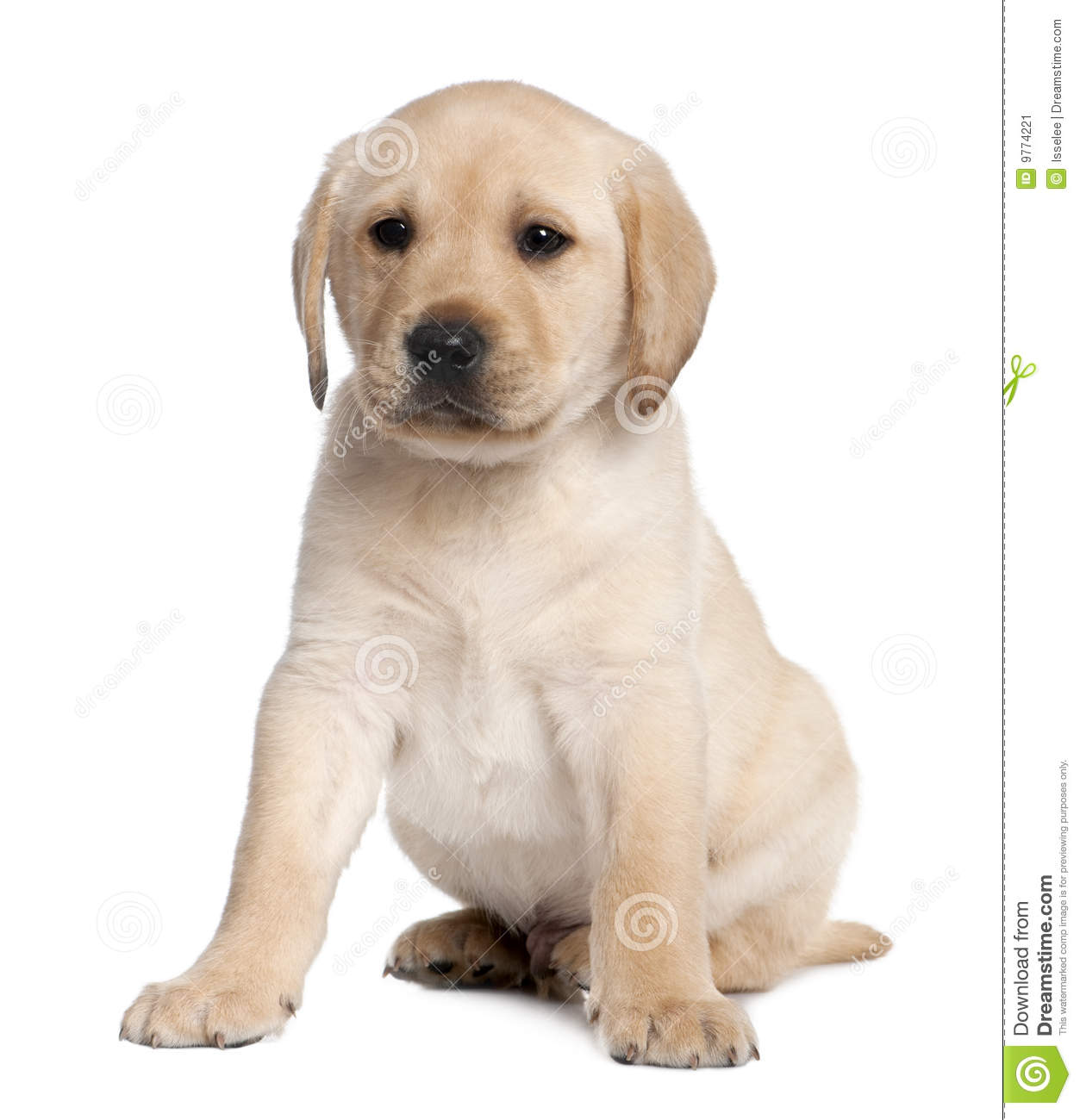 Labrador Puppy 6 Weeks Old Stock Image Image Of Doggy Isolated 9774221