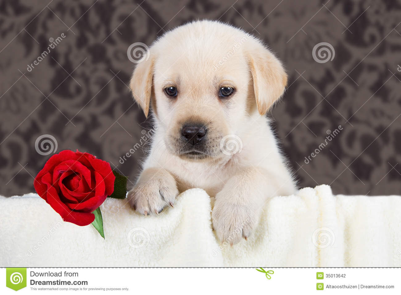 Labrador Puppy With Red Rose In Blanket Stock Photo