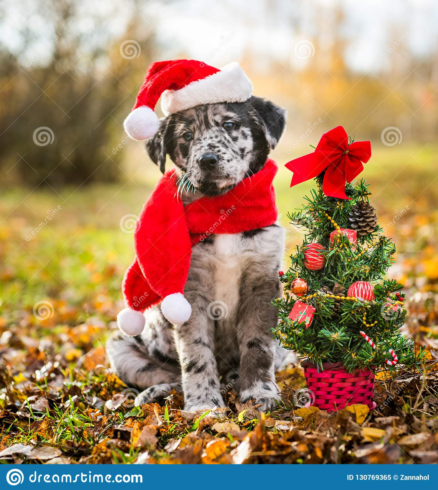Labrador Puppy In Santa Hat And Christmas Tree Stock Image Image Of Animal Celebration 130769365