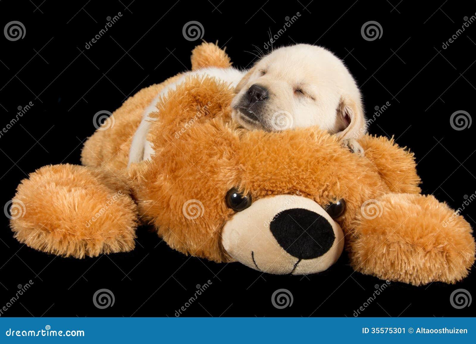 labrador puppy sleeping on big brown teddy bear stock Teddy Bear Puppies for Adoption Teddy Bear Shichon Puppies