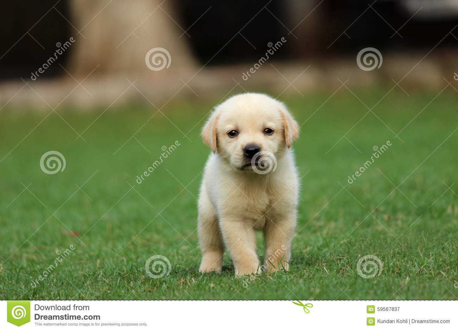 Labrador Puppy Wallpaper Stock Image Image Of Innocnt 59567837