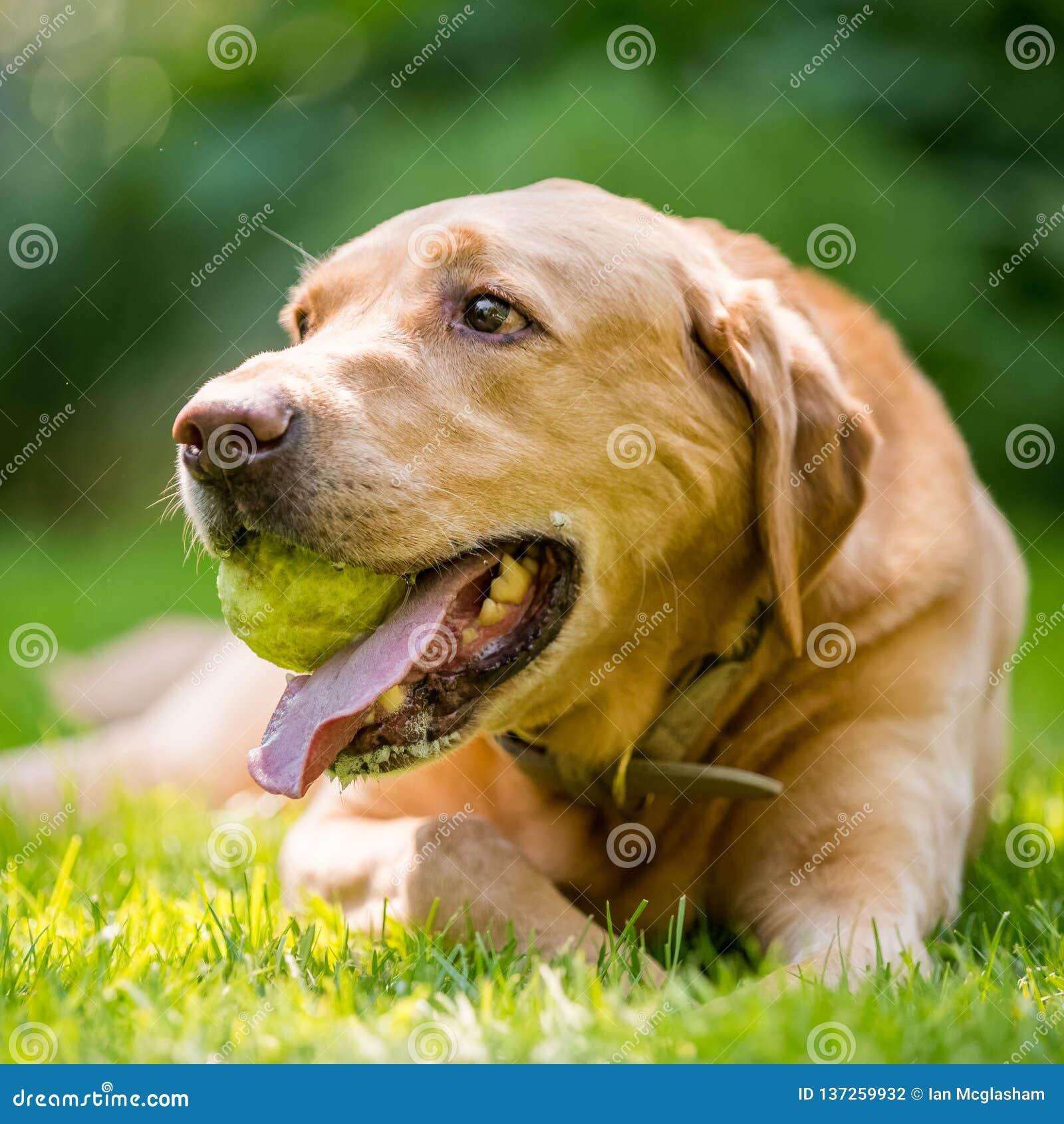 Labrador que guarda um fim da bola acima do retrato da cara em um dia ensolarado dourado