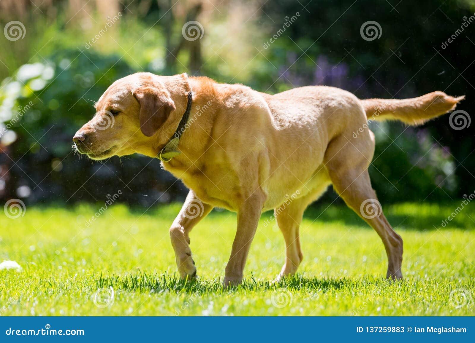 Labrador regardant vers le bas au côté à l ombre un jour ensoleillé