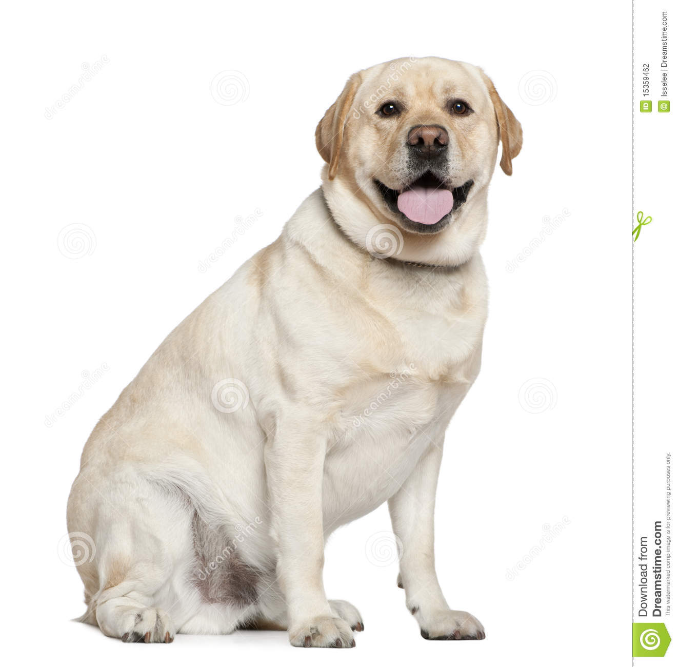Labrador Retriever, 2 And A Half Years Old Stock ...