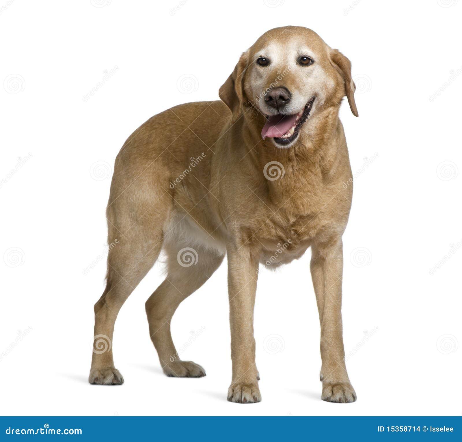 Labrador Retriever, 8 Years Old, Standing Stock Photo ...