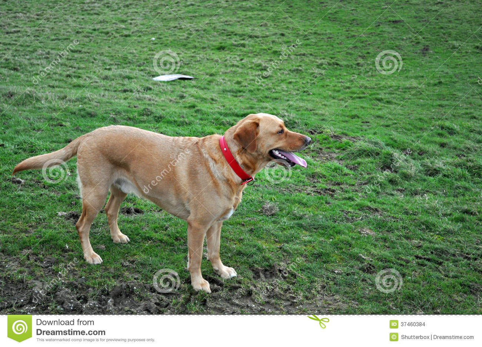 Labrador retriever attendant la commande