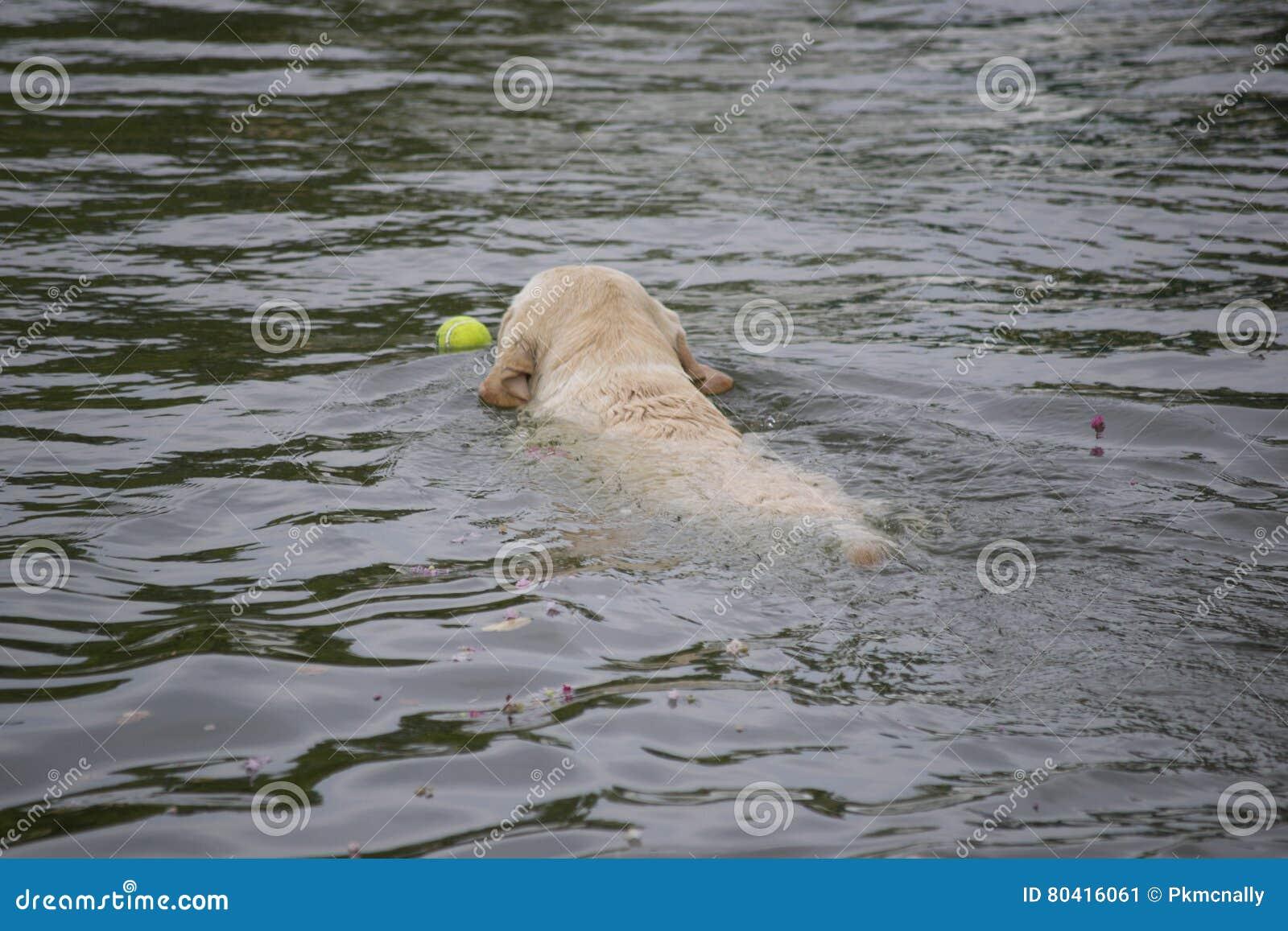 Labrador retriever che va a prendere una pallina da tennis da un lago