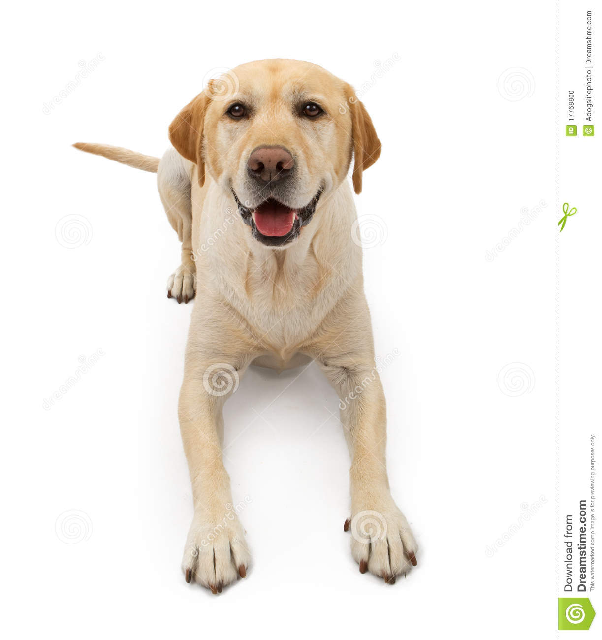 Labrador Retriever Dog With Happy Face