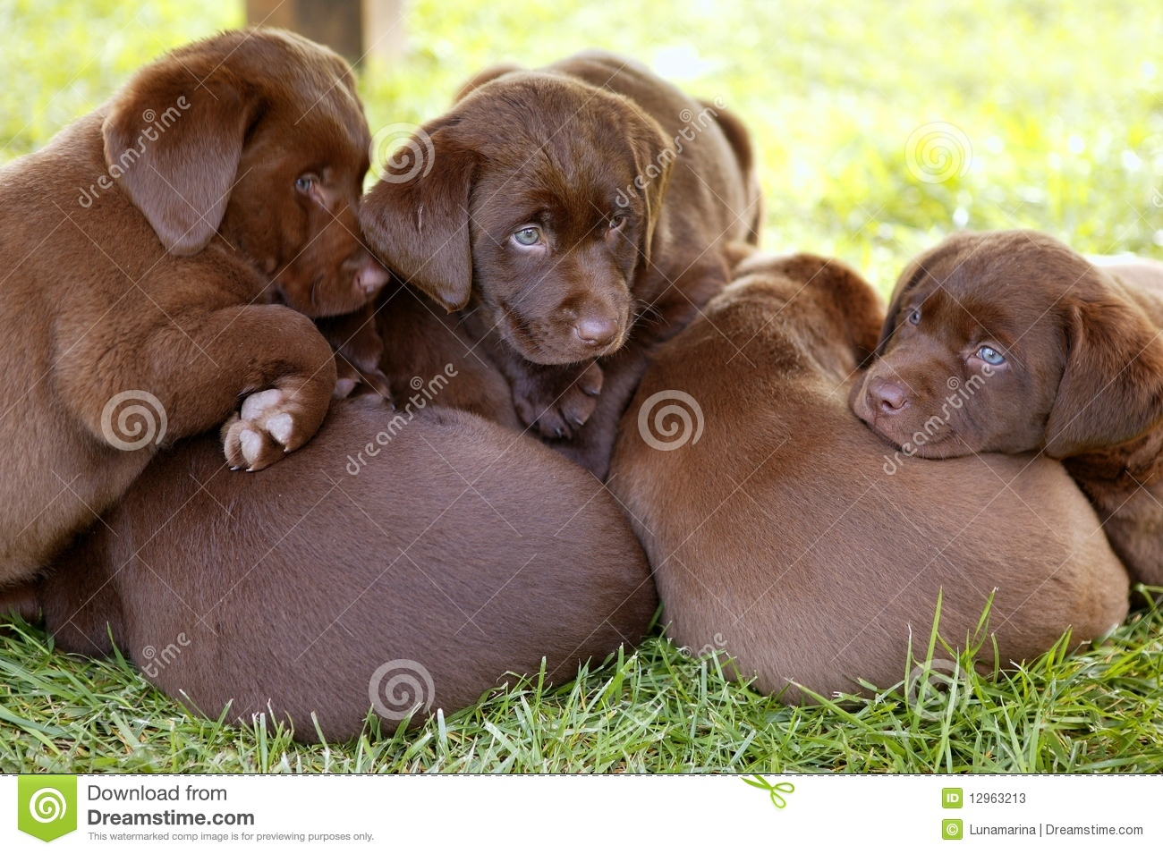 589 Labrador Litter Photos Free Royalty Free Stock Photos From Dreamstime