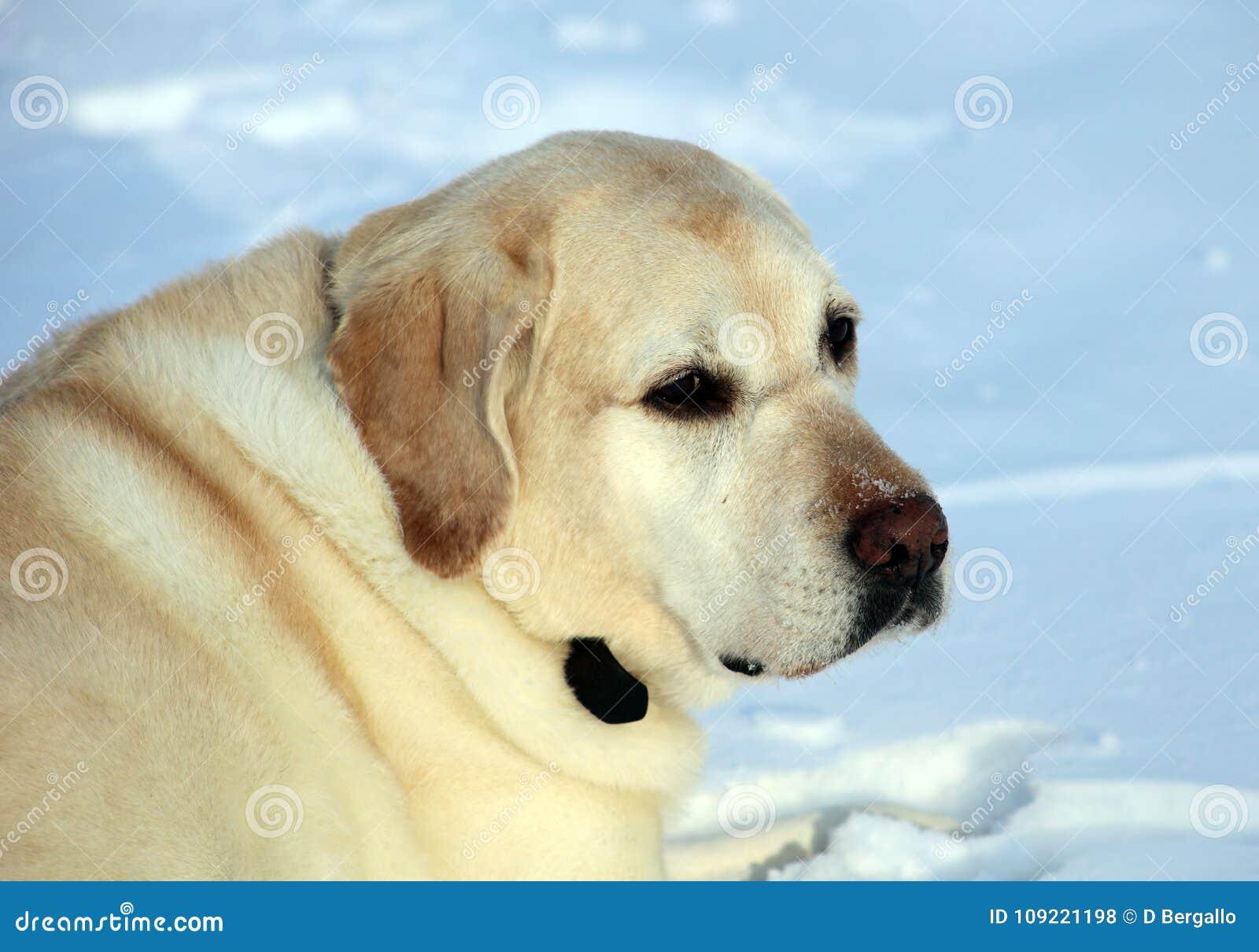 Labrador retriever doux jouant dans la neige, beau meilleur chien