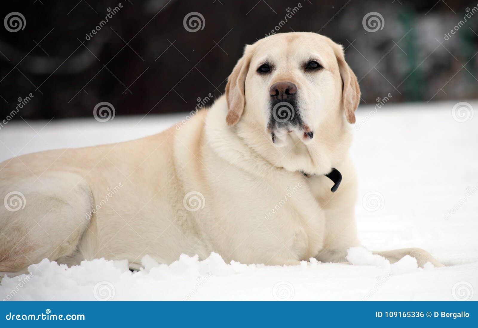 Labrador retriever dulce que juega en la nieve, mejor perro hermoso