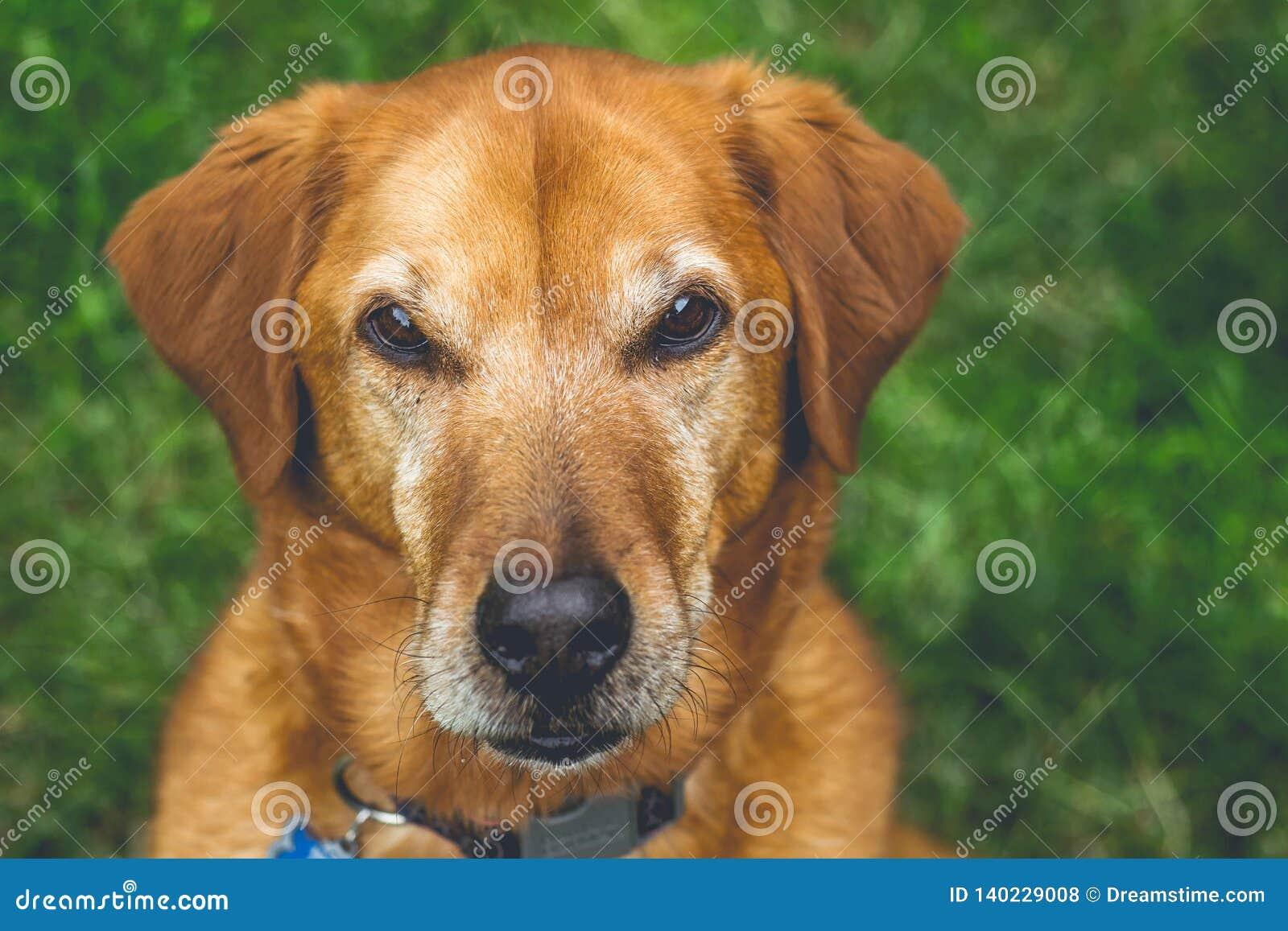 Labrador retriever focalisé