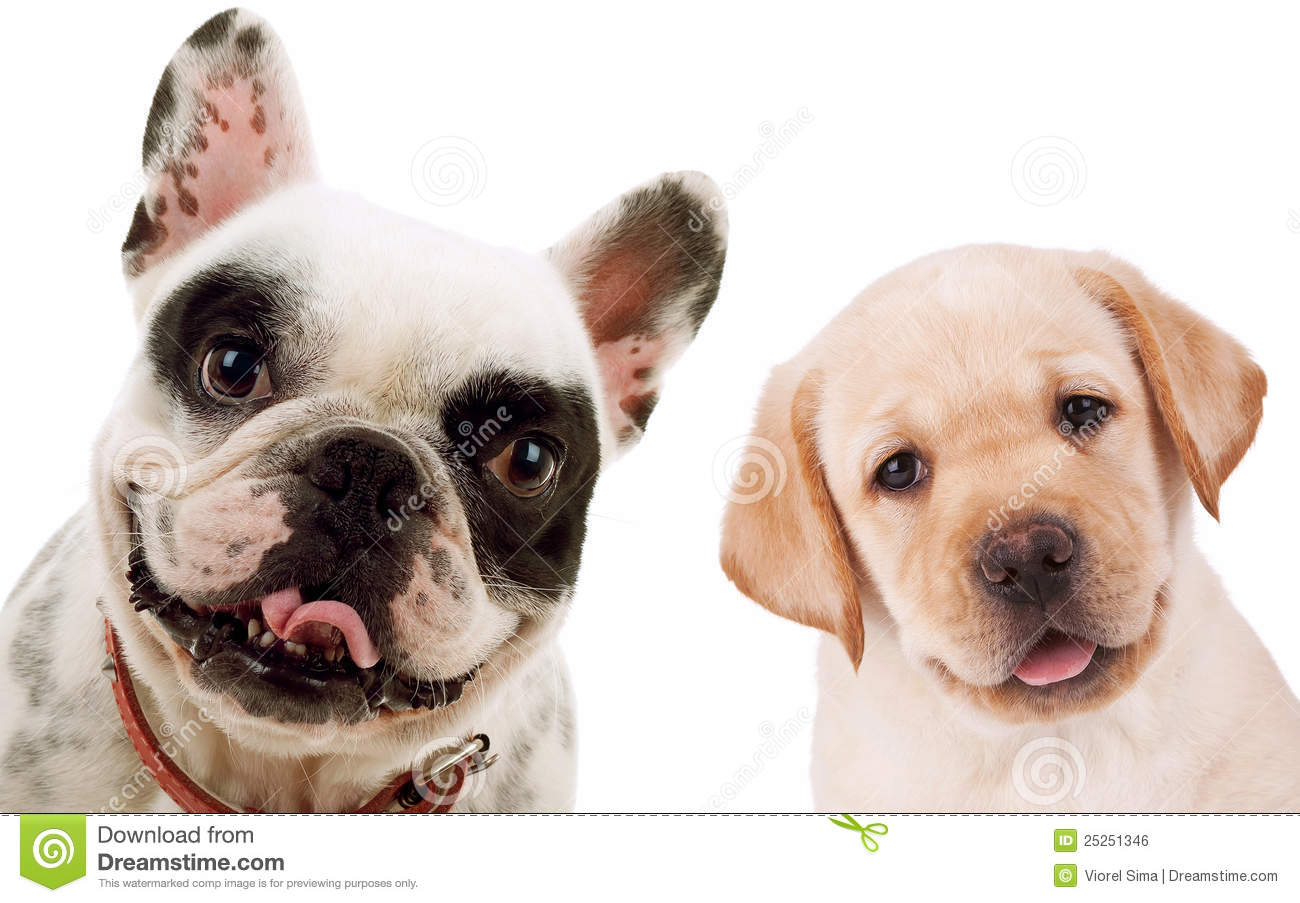 Labrador Retriever And French Bull Dog Puppy Dogs Stock