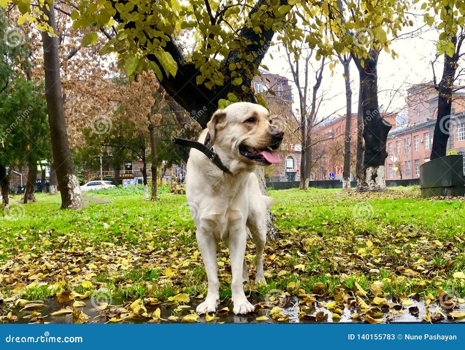 Labrador retriever no parque da cidade