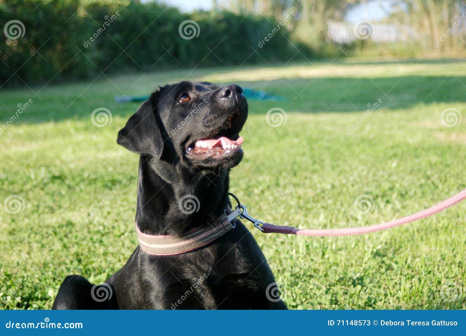 Labrador Retriever Noir Se Reposant Sur La Laisse Image