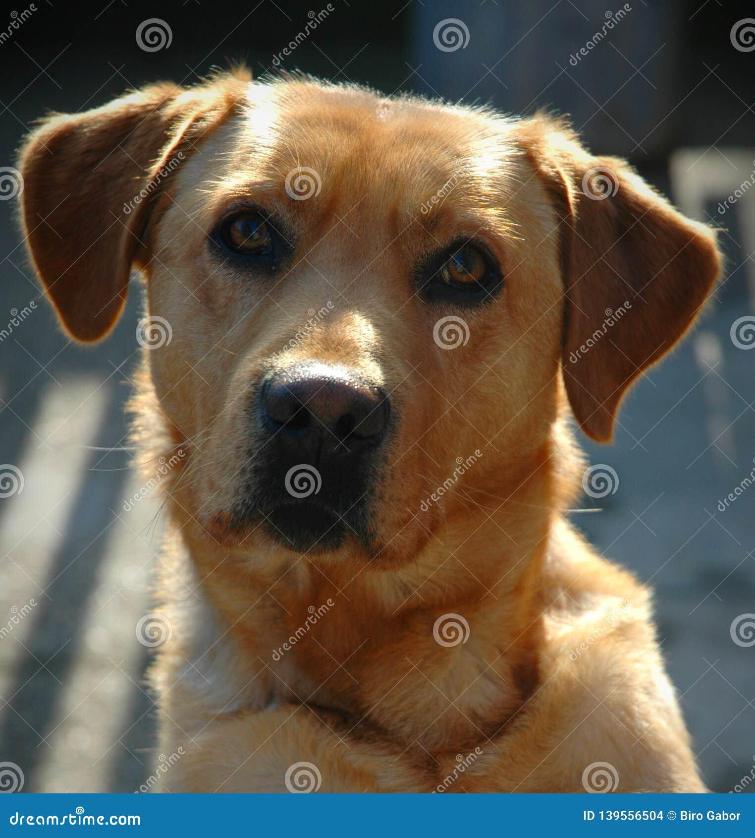Labrador retriever portait