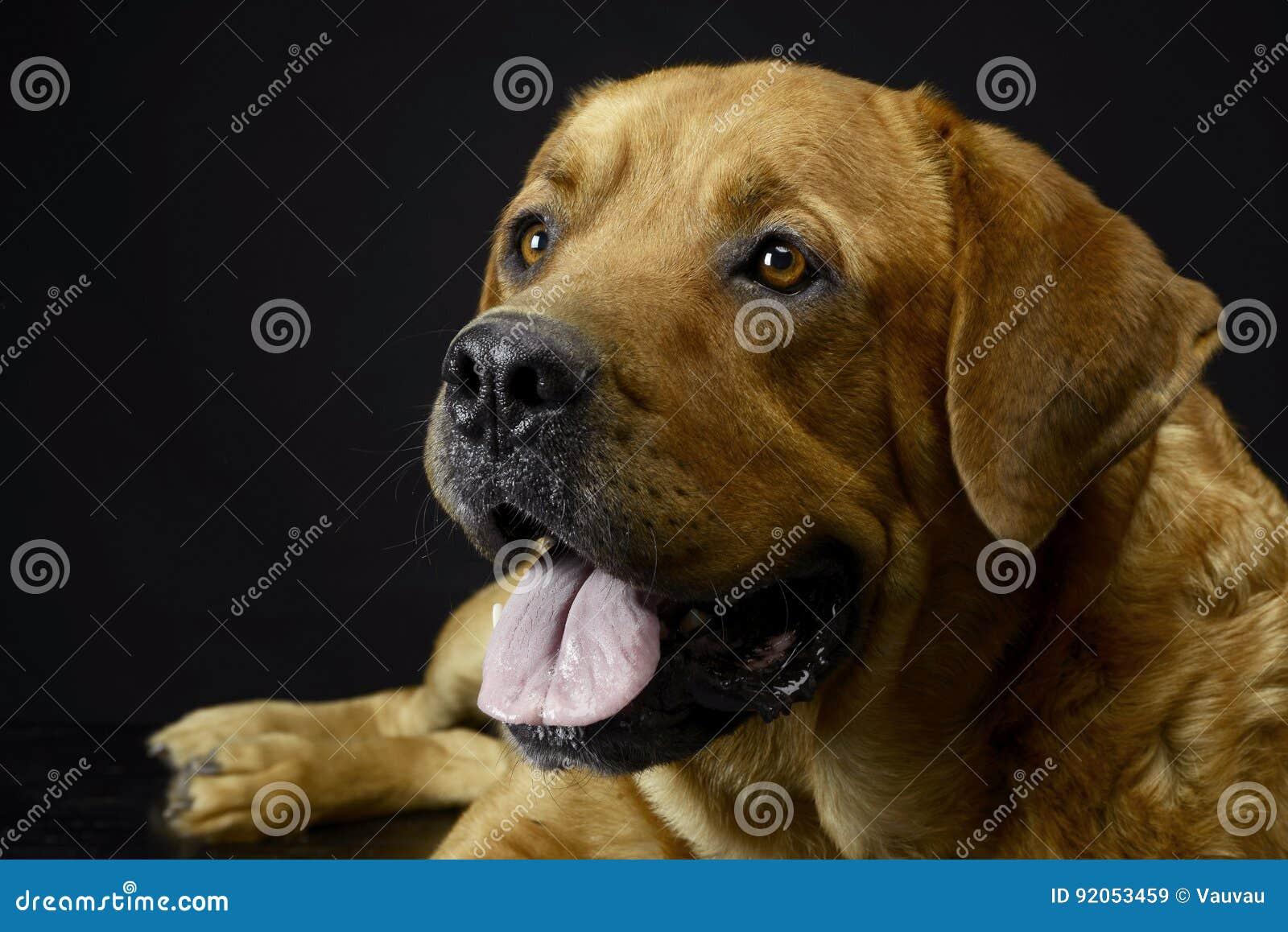 Labrador retriever portrait in black background studio