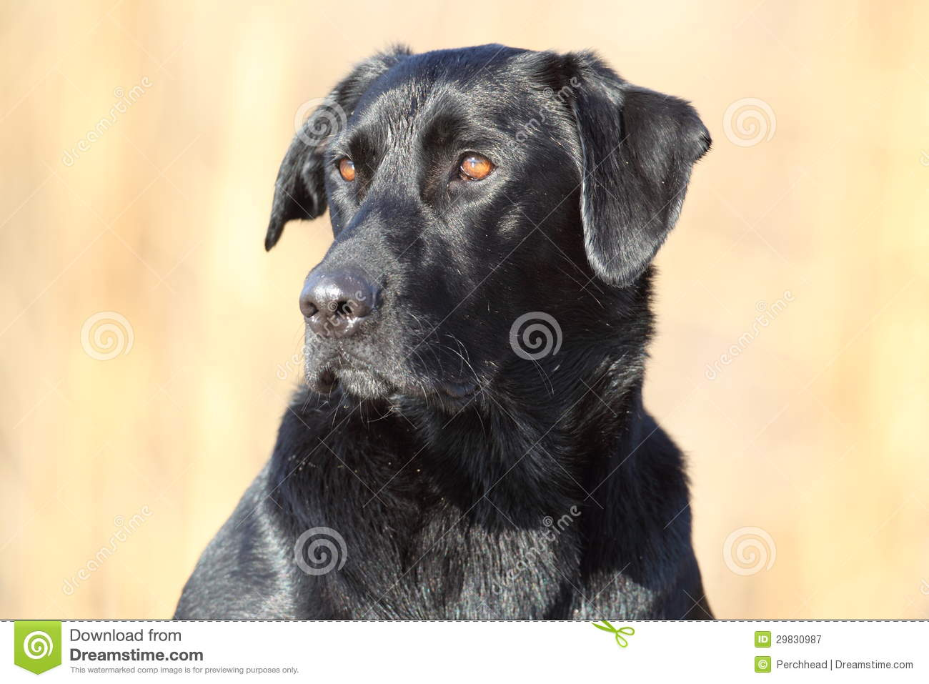 Labrador retriever preto