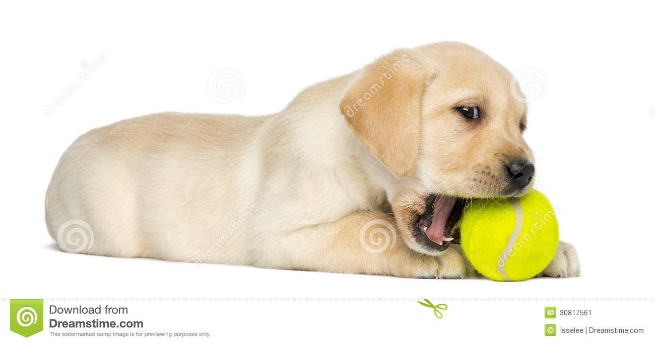 labrador retriever puppy  2 months old  lying and chewing clip art poppies clipart puppy