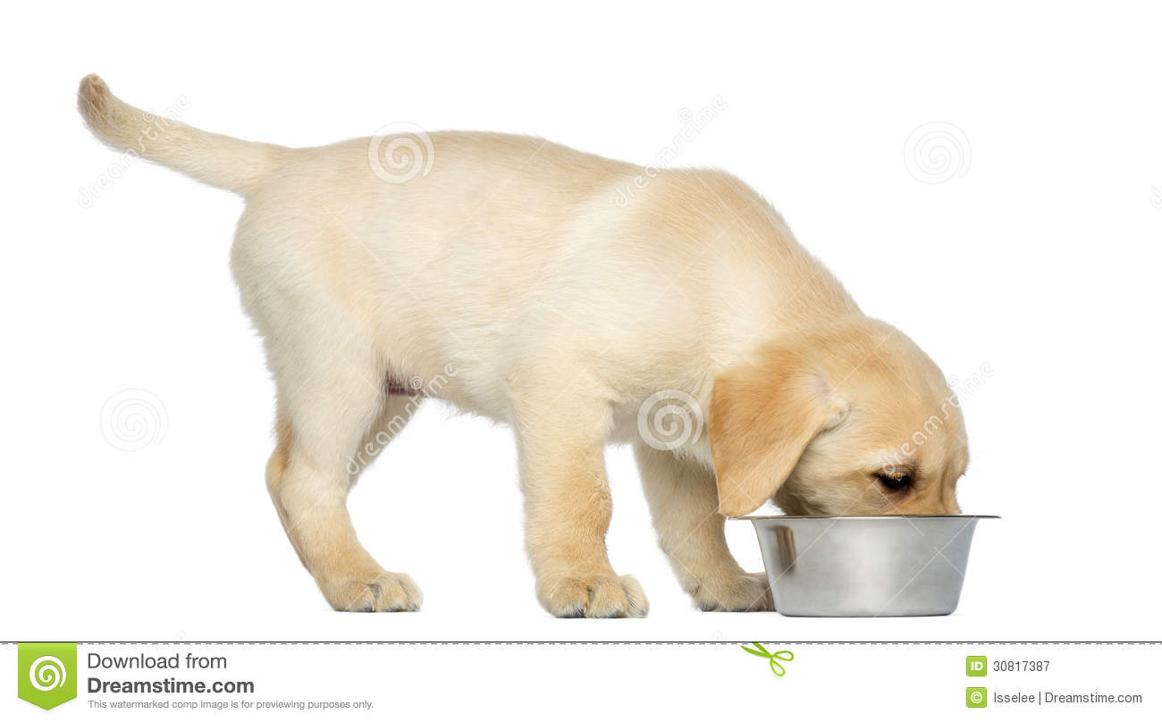 Labrador Retriever Puppy Standing And Eating From His Dog ...